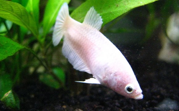 White female B. splendens