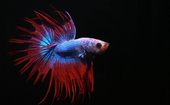 Crowntail Fighter