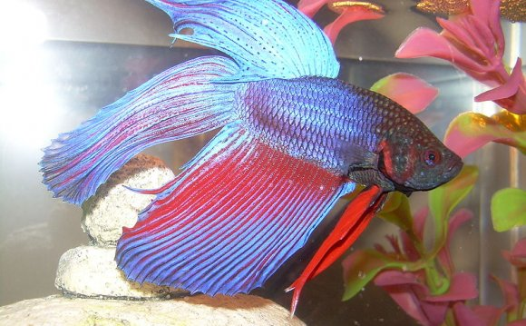 Crowntail Betta fish care