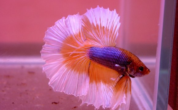 What temperature water do Betta fish like?