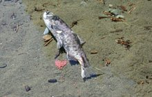 A deteriorated salmon dies after spawning.