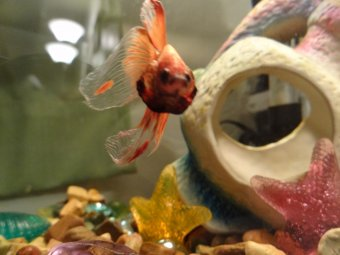 A male Betta splendens flaring. Photo by BettaSmart