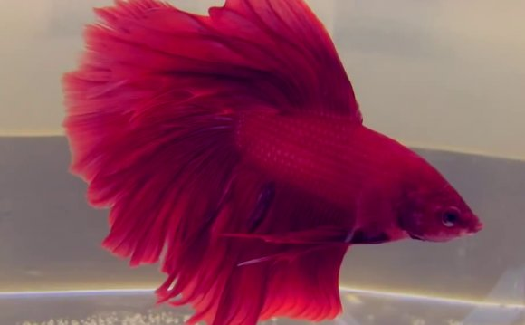 Names for red fish Betta
