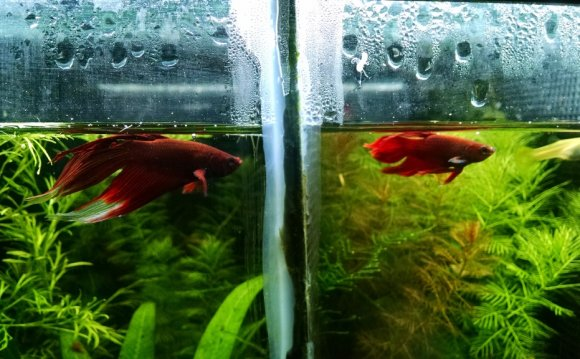 How to sex a Betta fish?