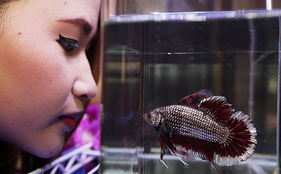 Siamese fighting fish size