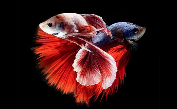 Siamese fighting fish-Videos