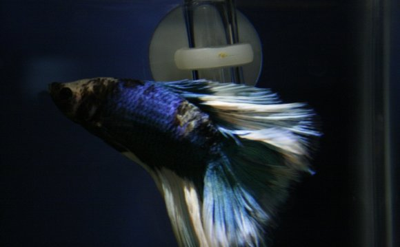 Veiltail Betta care