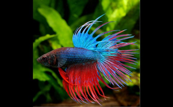 How to Keep a Betta fish Alive?