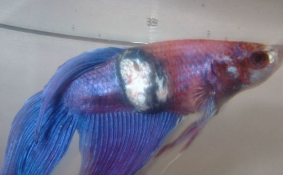 betta fish diseases and cures vang bettas