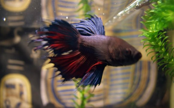 Where do wild Betta fish live?