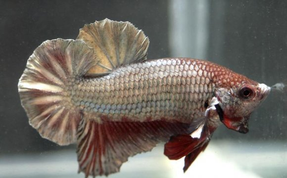 Crowntail female Betta fish