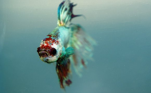 Betta fish live food
