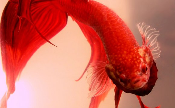 Siamese fighting fish names