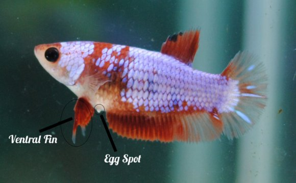 Betta splendens lifespan