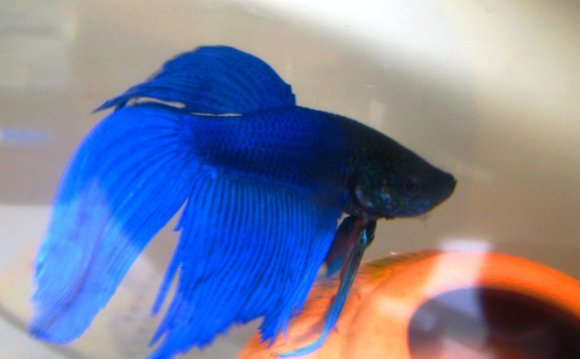 Blue Betta 7 By Fishybobo