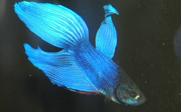 Male fighting fish