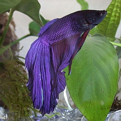 blue veiltail betta fish