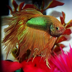 Brown tan betta