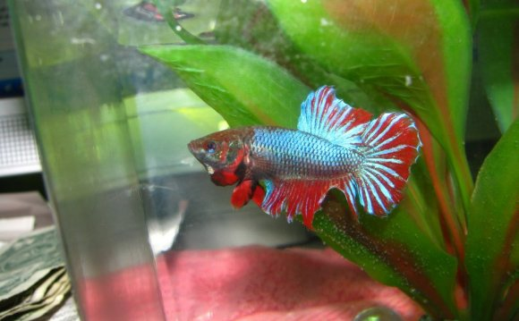 Female Betta Flaring