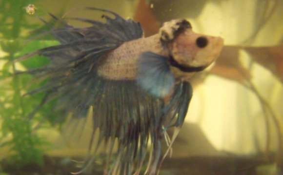Betta fish sickness symptoms