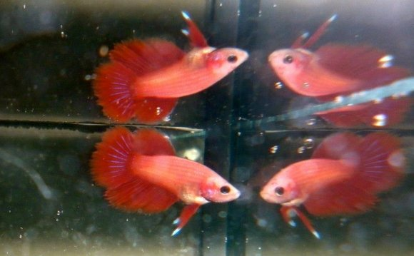 Cambodian fighting fish