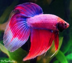 cambodian_betta_male_120217b6_w0640