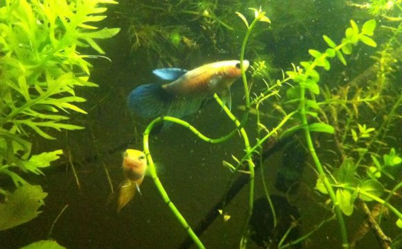 Betta fish And Guppies