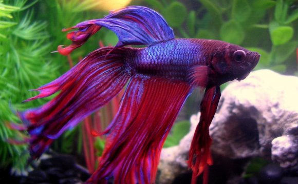 Betta fish FAQ