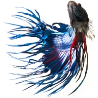 crowntail betta swimming