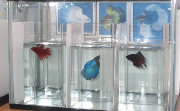 Betta water change