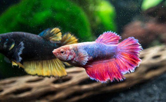 Different types of Bettas