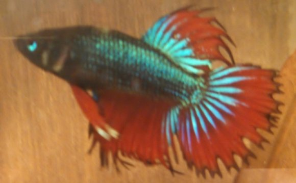 Female and male Betta