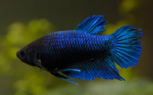 Female Betta splendens