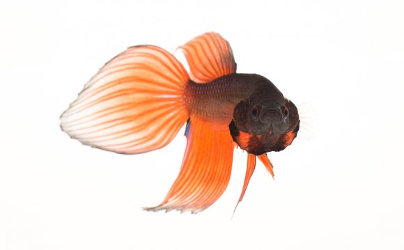 Male Siamese fighting fish