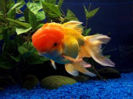 Goldfish need appropriate temperatures to remain healthy.