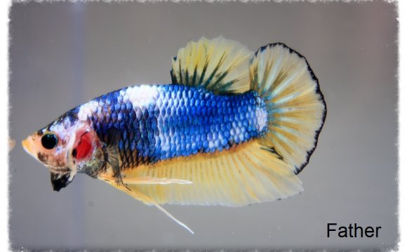 How to Mate a Betta fish?