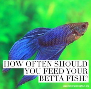 How often should you feed your betta fish