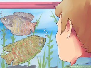 Image titled Breed Gouramis Step 3