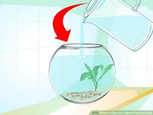 Image titled Care for a Betta Fish in a Vase Step 4