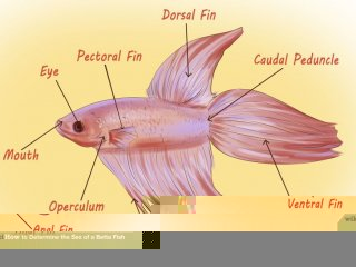 Image titled Determine the Sex of a Betta Fish Step 2