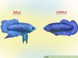 Image titled Determine the Sex of a Betta Fish Step 5