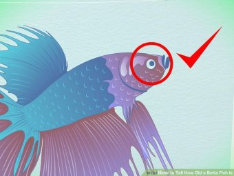 Image titled Tell How Old a Betta Fish Is Step 3