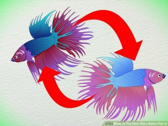 Image titled Tell How Old a Betta Fish Is Step 4