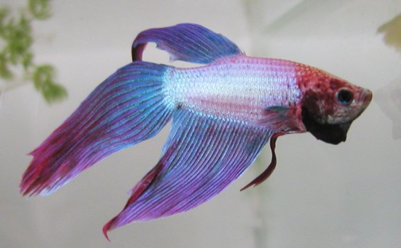 Keeping Siamese fighting fish