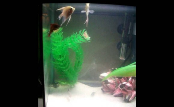 Male Betta fighting