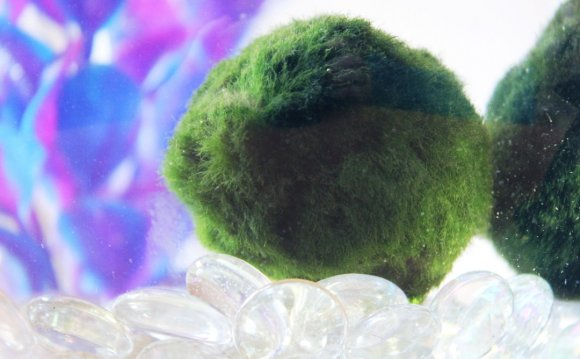 Betta fish Moss Ball