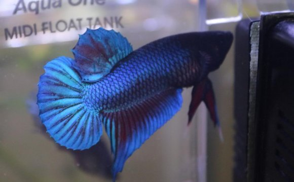 I Have Had My New Betta For