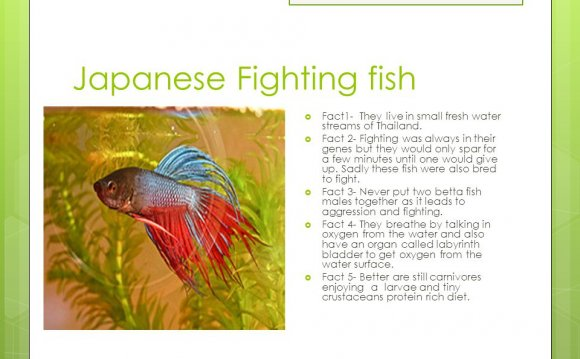 Facts about fighting fish