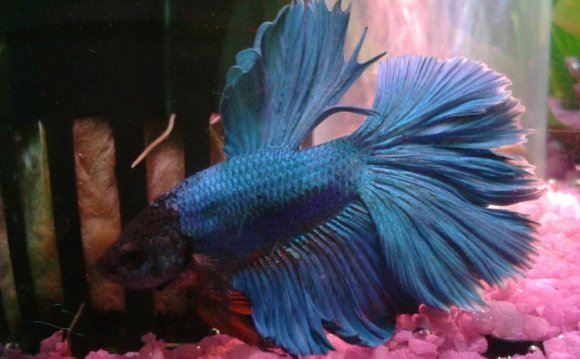Betta water temperature