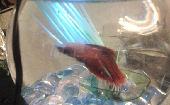 Betta fish fungal Infection
